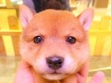 柴犬(豆柴)